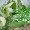 スナップエンドウの花が咲きました