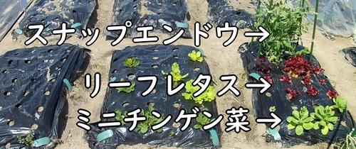 ミニチンゲン菜やスナップエンドウを植えた畝