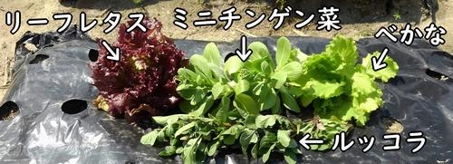 リーフレタスやミニチンゲン菜、ルッコラなどを収穫