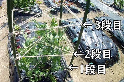 スナップエンドウの支柱に、麻紐の3段目を追加