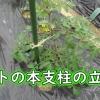 トマトの本支柱の立て方
