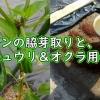 ピーマンの脇芽取りと、キュウリ&オクラの栽培準備