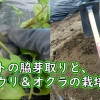 トマトの脇芽取りと、キュウリ&オクラの栽培準備