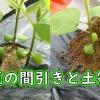 枝豆の間引きと土寄せ