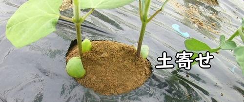 枝豆の土寄せ完了