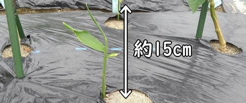最初の追肥は草丈15cmが目安