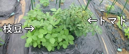 枝豆とトマトの畝
