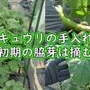 キュウリの栽培(初期の脇芽は摘む)