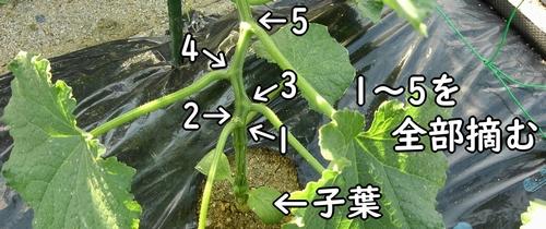 キュウリは初期の脇芽を全て摘む