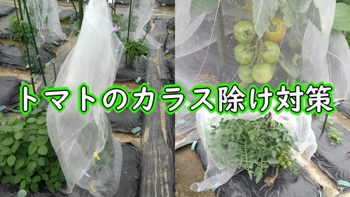 トマトのカラス除け対策