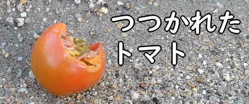 カラスにつつかれたトマト