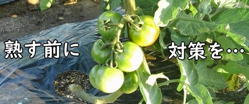 トマトが青いうちに対策を