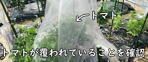 寒冷紗でトマトの株全体を覆う