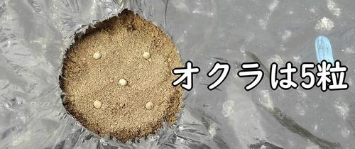 オクラの種は5粒まく