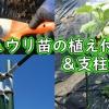 キュウリの苗の植え付け&支柱立て