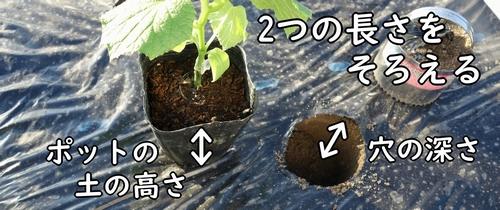 穴の深さと、ポットの土の高さを揃える