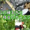 バジルの種まきと枝豆のカメムシ対策