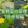 夏野菜の管理(7月中旬編)