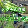 オクラの収穫&ショウガに3回目の追肥