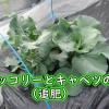 茎ブロッコリーとキャベツに追肥