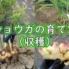 ショウガの育て方(収穫)