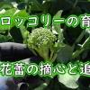茎ブロッコリーの摘心と追肥