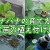 ナバナの育て方(苗の植え付け)