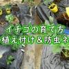 イチゴの育て方(苗の植え付け&防虫ネット)