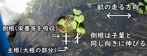 大根の側根は子葉と同じ向きに伸びる
