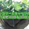 茎ブロッコリーとキャベツの追肥
