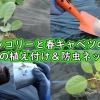 春ブロッコリーと春キャベツの植え付け