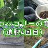 茎ブロッコリーの追肥(4回目)