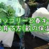 春ブロッコリーと春キャベツの保温