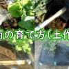春菊の育て方(土作り)