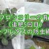 茎ブロッコリーの追肥5回目