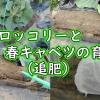 春ブロッコリーと春キャベツの追肥