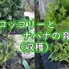 茎ブロッコリーとナバナの収穫