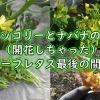 茎ブロッコリーとナバナの開花