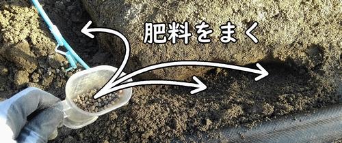 追肥箇所に肥料をまく