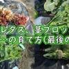 リーフレタス、茎ブロッコリー、ナバナなどの最終収穫