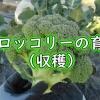 春ブロッコリーの収穫
