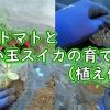 ミニトマトと小玉スイカの育て方(植え付け)