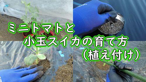 ミニトマトと小玉スイカの植え付け