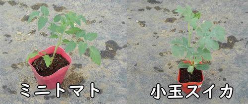 ミニトマトと小玉スイカの苗