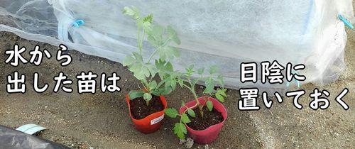 ミニトマトと小玉スイカの苗を日陰におく