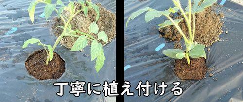 ミニトマトと小玉スイカの苗を植え付ける