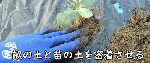 畝の土とポットの土を密着させる