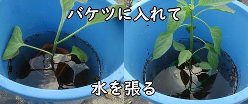 ポットの土に水を浸透させる