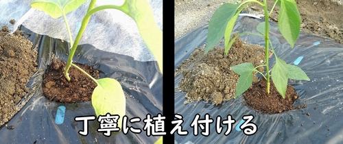 白ナスと甘唐辛子の苗を植え付ける