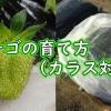 イチゴのカラス対策